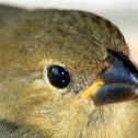 Olive tanager (Juv.)