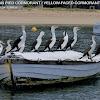 Australian Pied Cormorant / Yellow Faced Cormorant