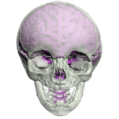 Complete Skull