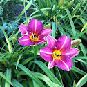 Day Lilly Hybrid