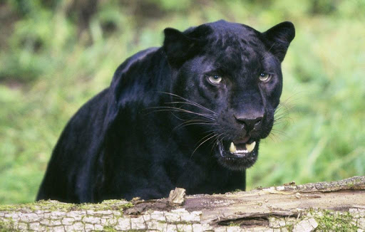 Black Leopard Wallpapers HD