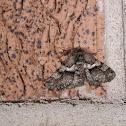 woolly gray moth