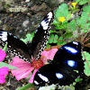 Common Eggfly Butterflies (in courtship)