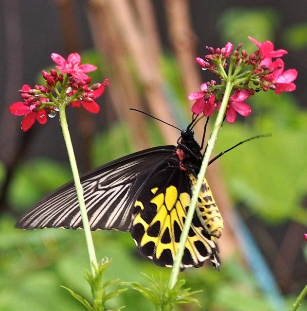Golden Birdwing