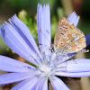 Southern Brown Argus, Morena