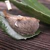 Flannel Moth larva