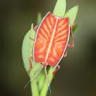 Shield Bug Nymph