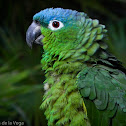 Perico Verde -  Blue-crowned Mealy Parrot