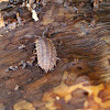 Common Woodlouse / Kopneni račić