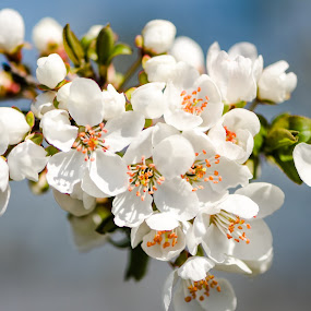 spring time! by Lupu Radu - Flowers Tree Blossoms ( spring colorful flowers,  )