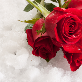Valentine roses by Vrinda Mahesh - Public Holidays Valentines Day ( valentine's day, valentines, backgrounds, romantic, love, roses on the snow, valentine card, winter, red, red rose on white, snow, garden flowers, red roses, valentine roses, flowers, snow background, valentine background )