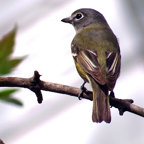 Ruby Crowned Kinglet by Patti Hobbs - Animals Birds ( animals birds ruby crowned kinglet )