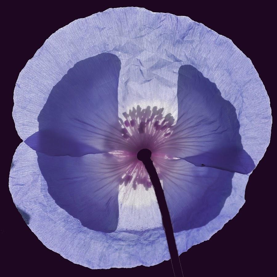 Blue Poppy by Sheryl Hester - Flowers Single Flower ( blue poppy,  )