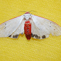 Red Costate Tiger Moth