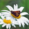 Hobomok Skipper Butterfly