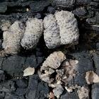 Vase cell mud-dauber wasp nests
