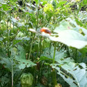 Fourlined Plant Bug