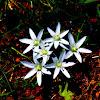 Ornithogalum atticum (Ορνιθόγαλο της Αττικής)