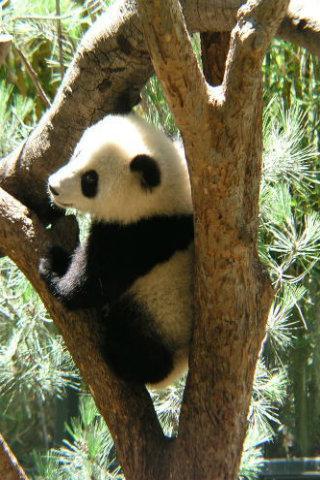 panda love jam