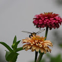 Common Clearwing Hummingbird Moth