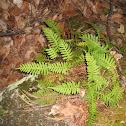 Polyploidy fern