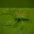 Magnolia Green Jumper  Spider