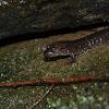 Blackbell Salamander