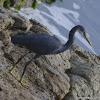 Western Reef Heron / Western Reef Egret
