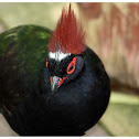 The Crested Partridge