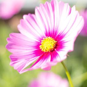 Summer July by Luis Mendez - Flowers Single Flower ( pink flower, park, macro photography, summer, flower )