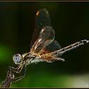 Long Legged Marsh Glider