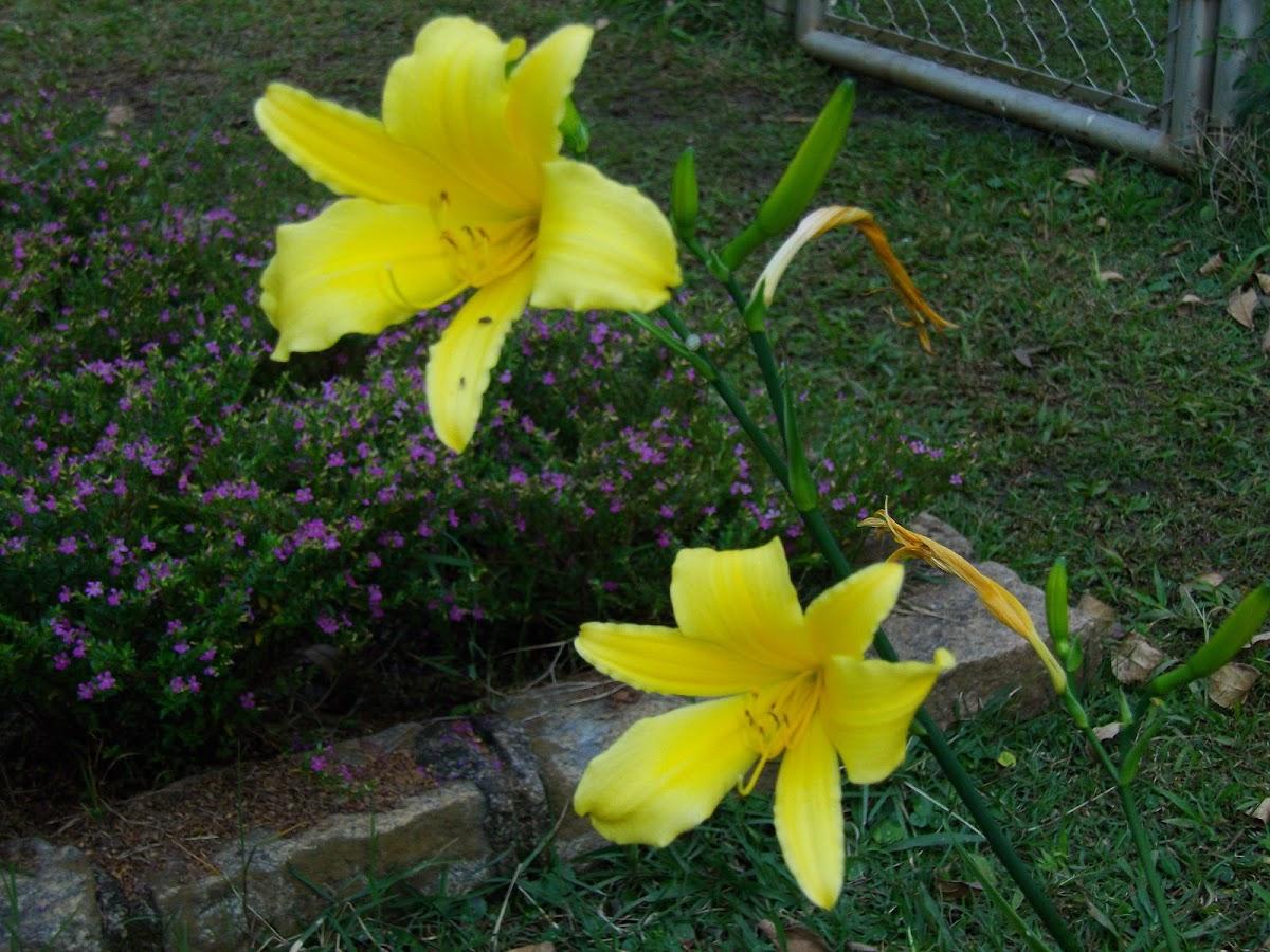 Lírio-amarelo-do-brejo