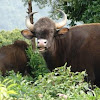 Indian Bison or Gaur