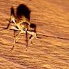 Black Oak Acorn Weevil