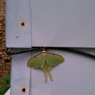 chinese lunar moth