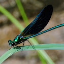 Beautiful Demoiselle; Caballito del Diablo Azul