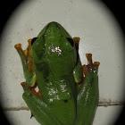 rhacophous tree frog