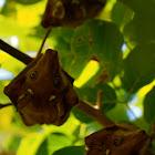Wahlberg's epauletted fruit bat