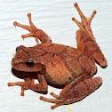 Northern Spring Peeper Frog