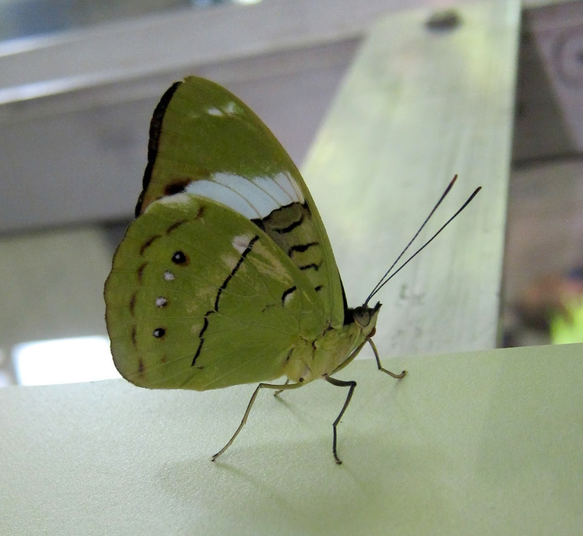 Blue-banded Nymph