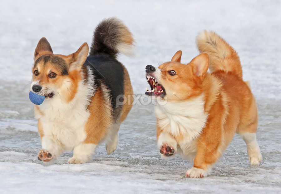 Funny face by Mia Ikonen - Animals - Dogs Playing ( funny, action, pembroke welsh corgi, finland, expressive,  )