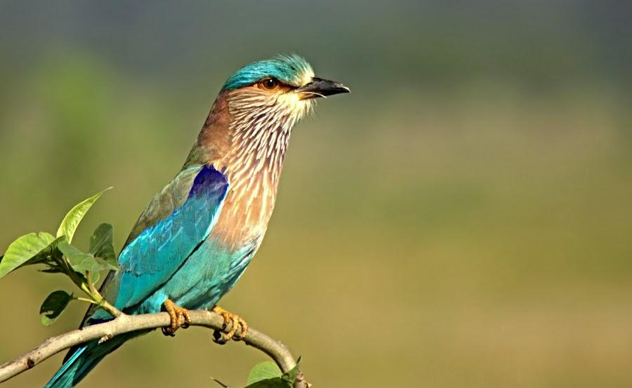 The Blue Jay  by Prasanna Bhat - Animals Birds