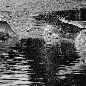 2 swans by Karen Shivas - Animals Birds ( water, swans, white, fighting, black )