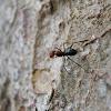Arboreal Ants