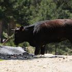 Cattle, Vaca avileña negra ibérica