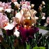 "Peach & Purple Tall Bearded Iris ""Habit"""