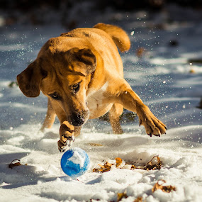 by Michael Last - Animals - Dogs Playing (  )