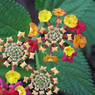 Lantana or Spanish Flag