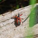 Red assassin bug, Rote Mordwanze