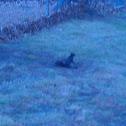 Black Eastern Gray Squirrel (melanistic)